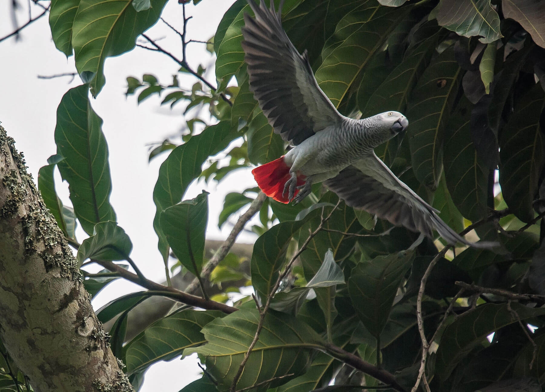 Shades-of-Grey-Parrots-4